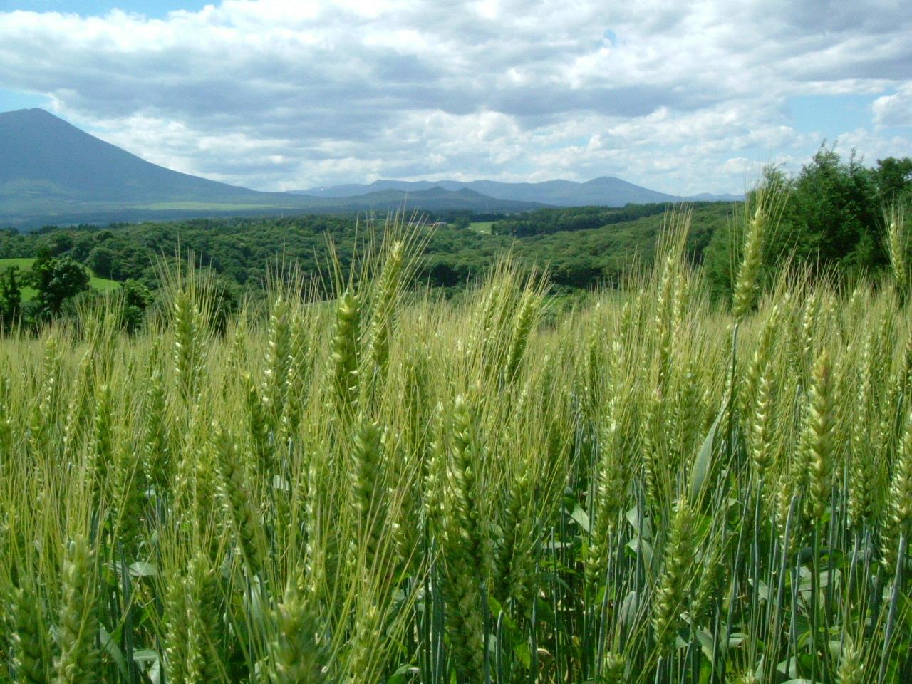 ユキチカラ 無許可での出版物への転載はご遠慮ください 小麦畑